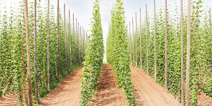Growing Hops Commercially