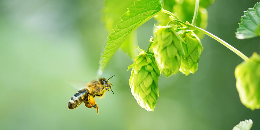 How Hops Can Help Save the Bees