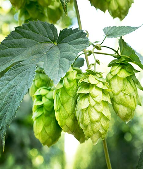 Growing Mandarina Bavaria Hops
