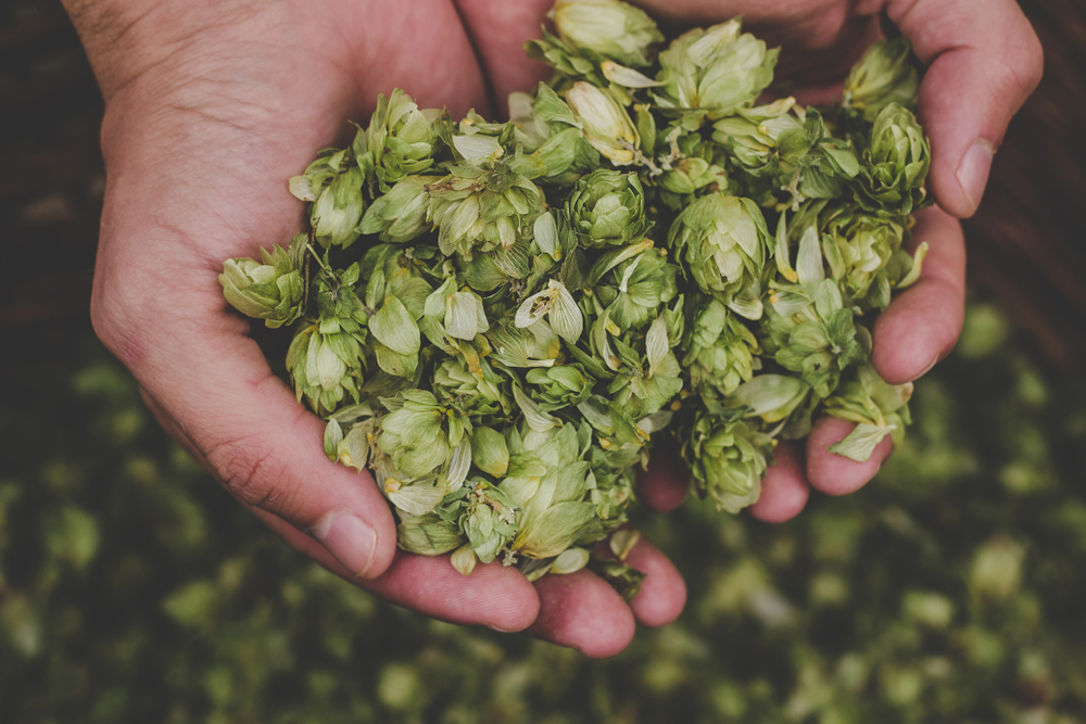 handful of harvested hops